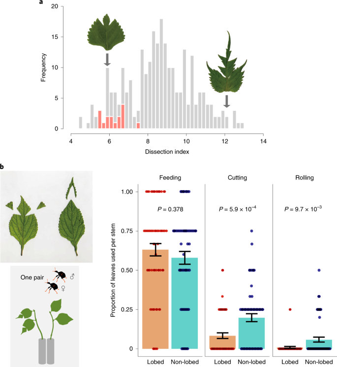 Leaf shape deters plant processing by an herbivorous weevil