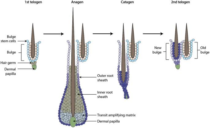 Comparative regenerative mechanisms across different