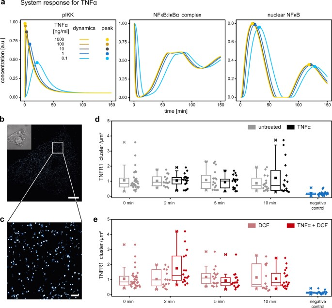 Model-based identification of TNFα-induced IKKβ-mediated and