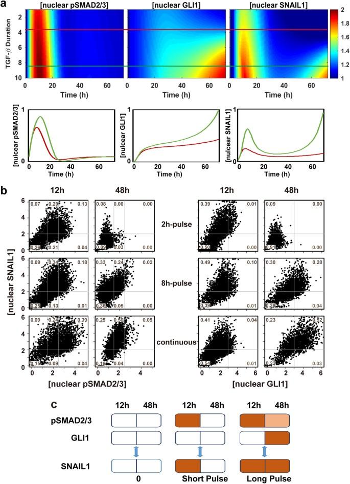 Pathway crosstalk enables cells to interpret TGF-β duration | npj