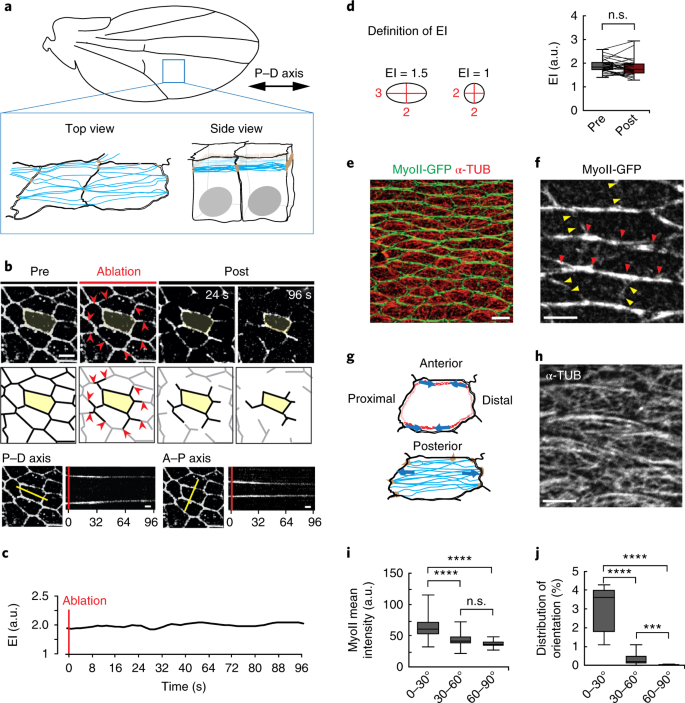 Polarized microtubule dynamics directs cell mechanics and