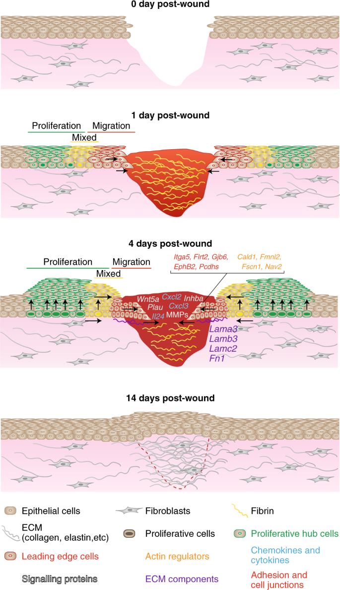 Stem cell dynamics, migration and plasticity during wound healing