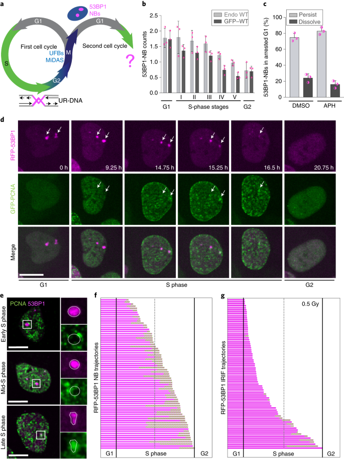 53BP1 nuclear bodies enforce replication timing at under