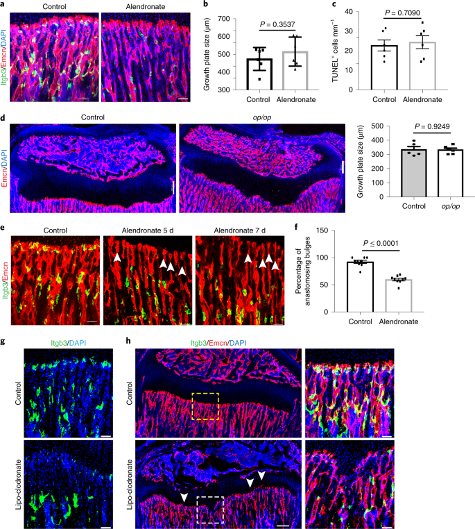 Endothelial proteolytic activity and interaction with non-resorbing