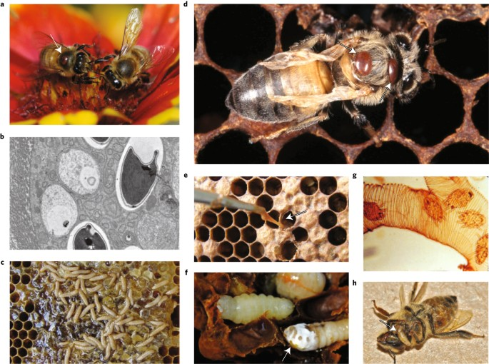 Ecological and evolutionary approaches to managing honeybee disease