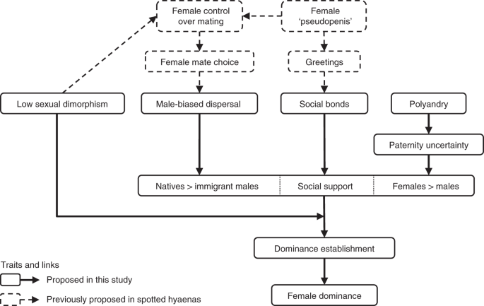 Social support drives female dominance in the spotted hyaena