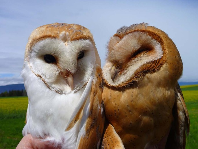 Differential Fitness Effects Of Moonlight On Plumage Colour Morphs In Barn Owls Nature Ecology Evolution