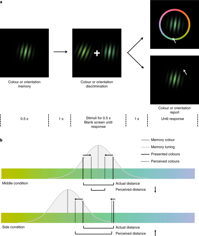 Visual working memory directly alters perception | Nature Human
