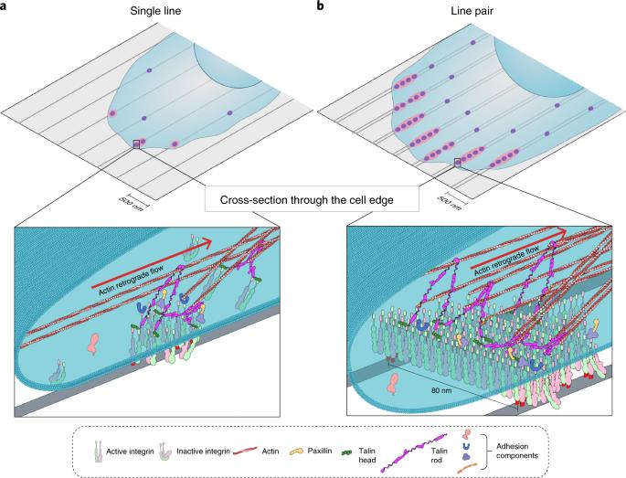 Integrin nanoclusters can bridge thin matrix fibres to form