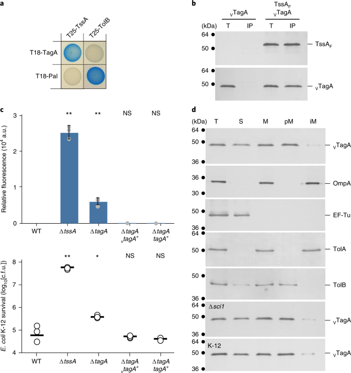In vivo TssA proximity labelling during type VI secretion