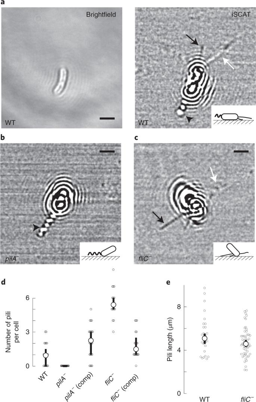 Pseudomonas aeruginosa orchestrates twitching motility by