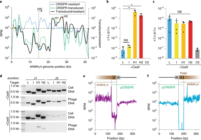 Recombination between phages and CRISPR− cas loci