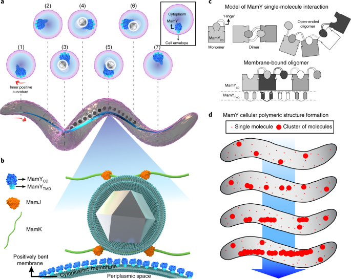MamY is a membrane-bound protein that aligns magnetosomes