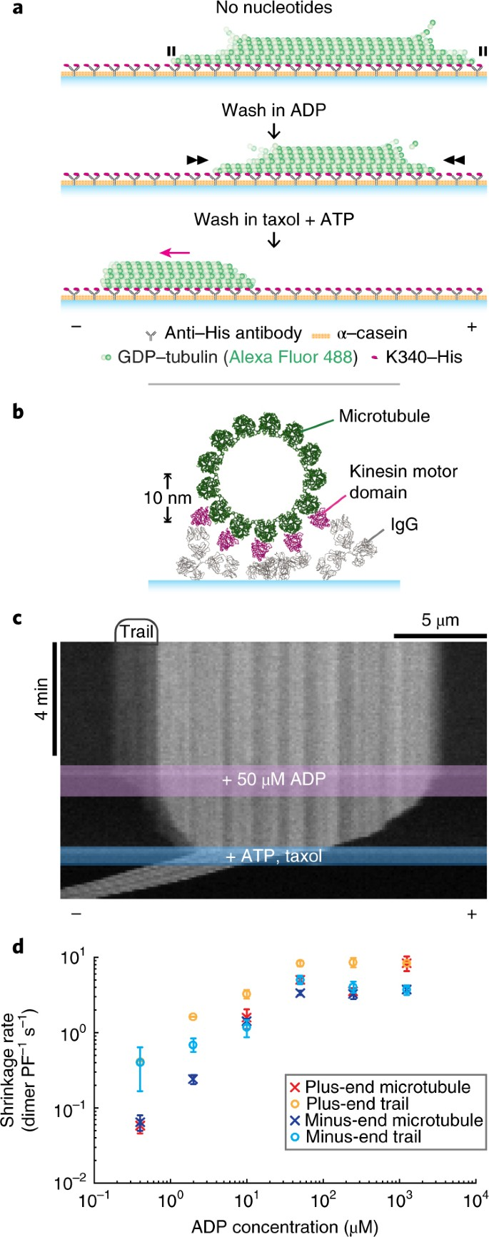 Kinesin expands and stabilizes the GDP-microtubule lattice