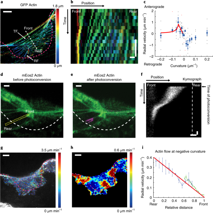 Large-scale curvature sensing by directional actin flow