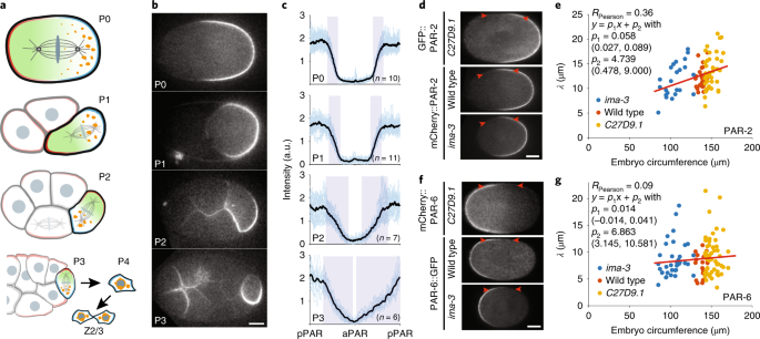 A cell-size threshold limits cell polarity and asymmetric