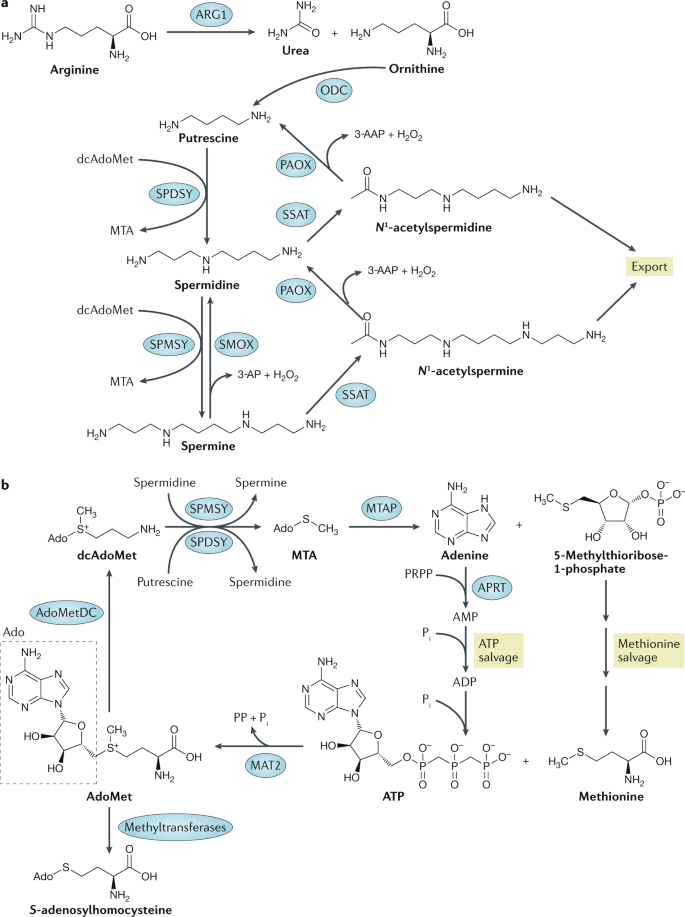 Polyamine metabolism and cancer: treatments, challenges and