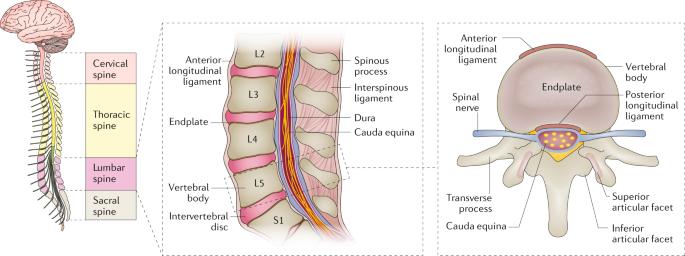 Low back pain   Nature Reviews Disease Primers