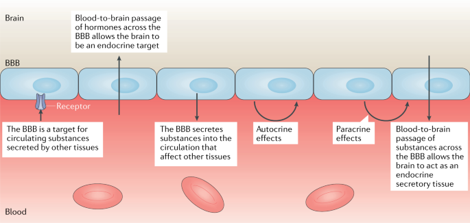 The blood–brain barrier as an endocrine tissue | Nature