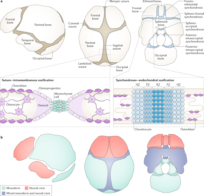 Role Of Thyroid Hormones In Craniofacial Development Nature Reviews Endocrinology Surgical treatment consists of excision of the accessory navicular with its synchondrosis, without transposition of the posterior tibial. role of thyroid hormones in