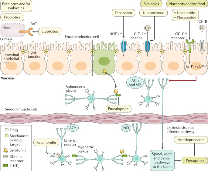 New treatments and therapeutic targets for IBS and other functional