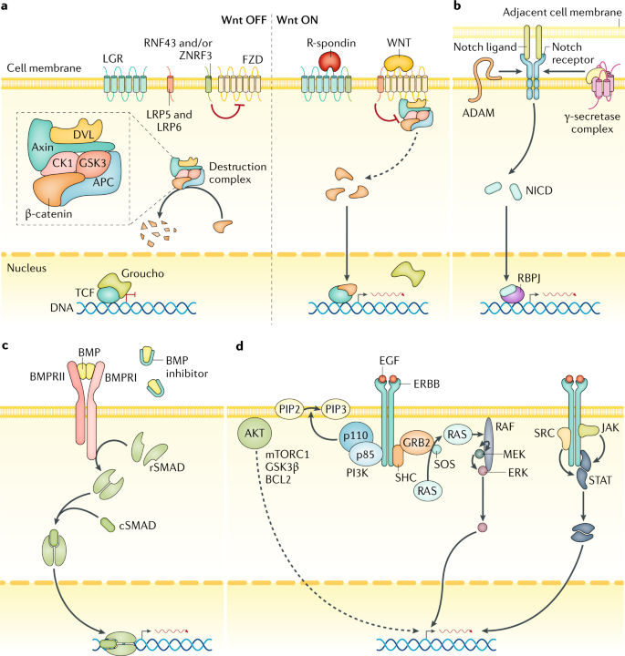 Tales from the crypt: new insights into intestinal stem