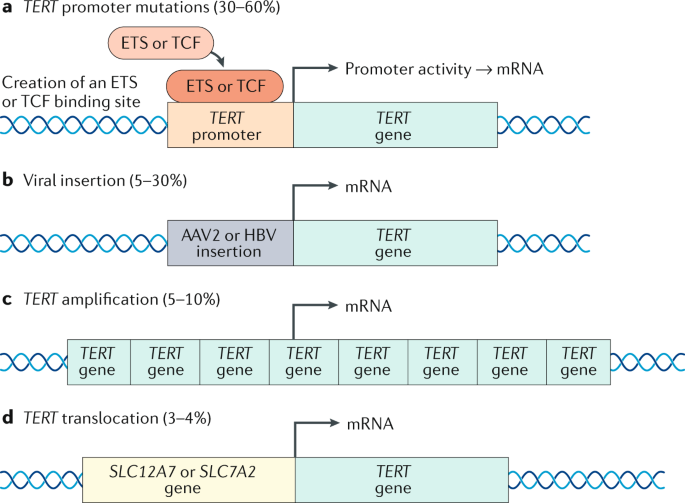 The role of telomeres and telomerase in cirrhosis and liver