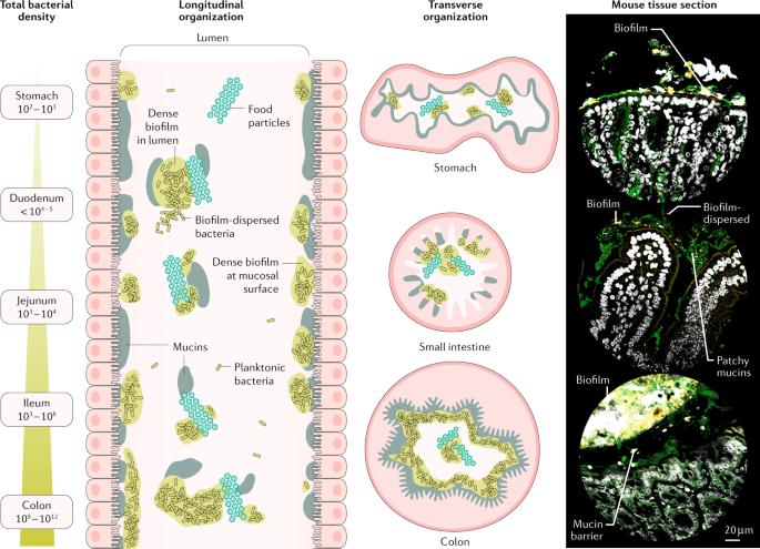 Microbiota în bolile ficatului și a tractului digestiv a anunțat revoluția - Revue Médicale