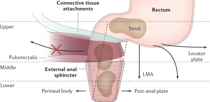 Training pubococcygeus-muskel Amp Up