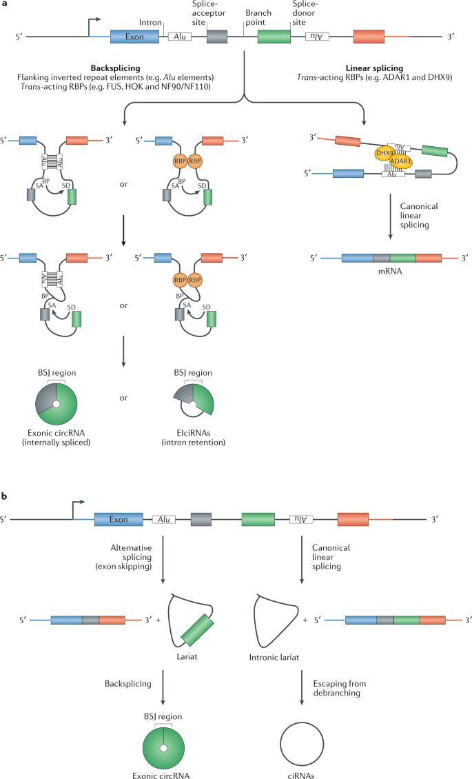 The biogenesis, biology and characterization of circular RNAs