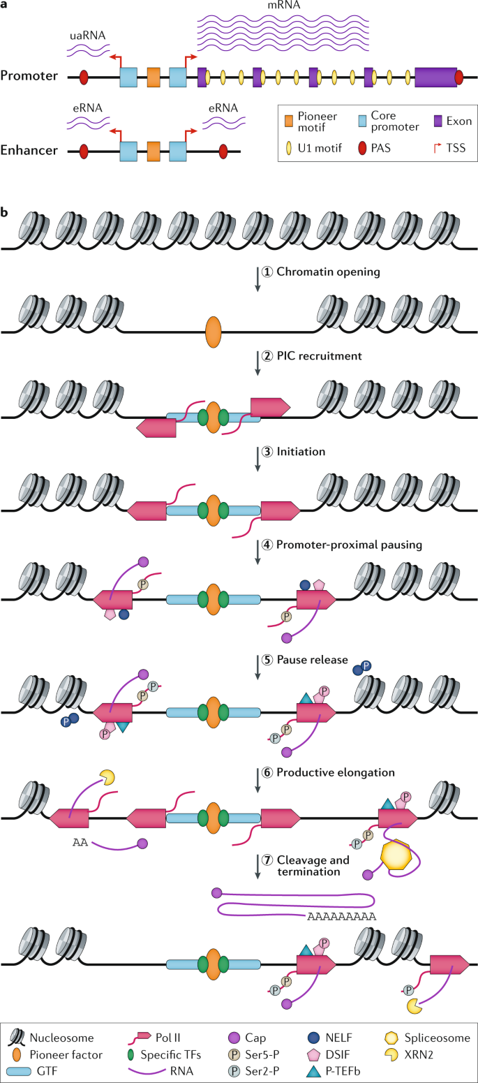 Nascent RNA analyses: tracking transcription and its