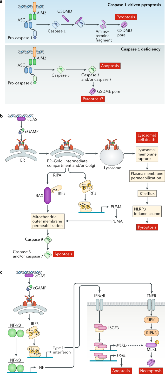DNA-stimulated cell death: implications for host defence