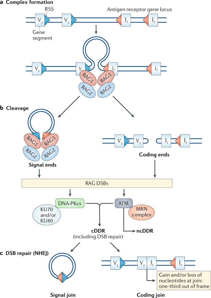 At the intersection of DNA damage and immune responses | Nature