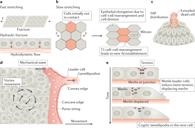 Material approaches to active tissue mechanics | Nature