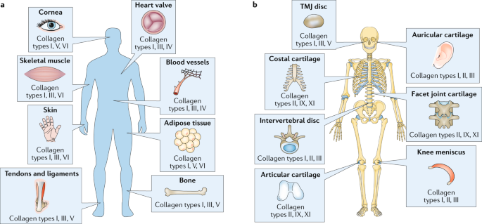 Collagen: quantification, biomechanics and role of minor subtypes in  cartilage | Nature Reviews Materials