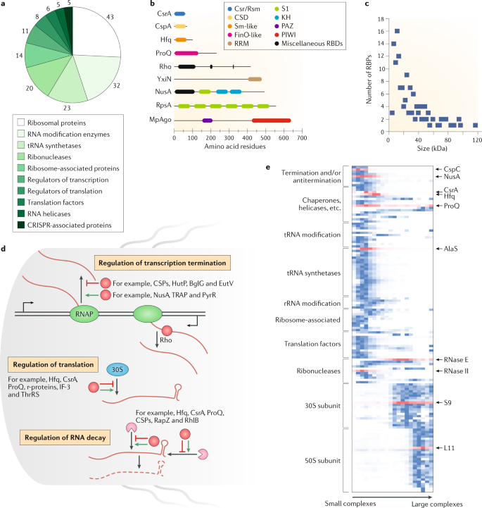 RNA-binding proteins in bacteria | Nature Reviews Microbiology