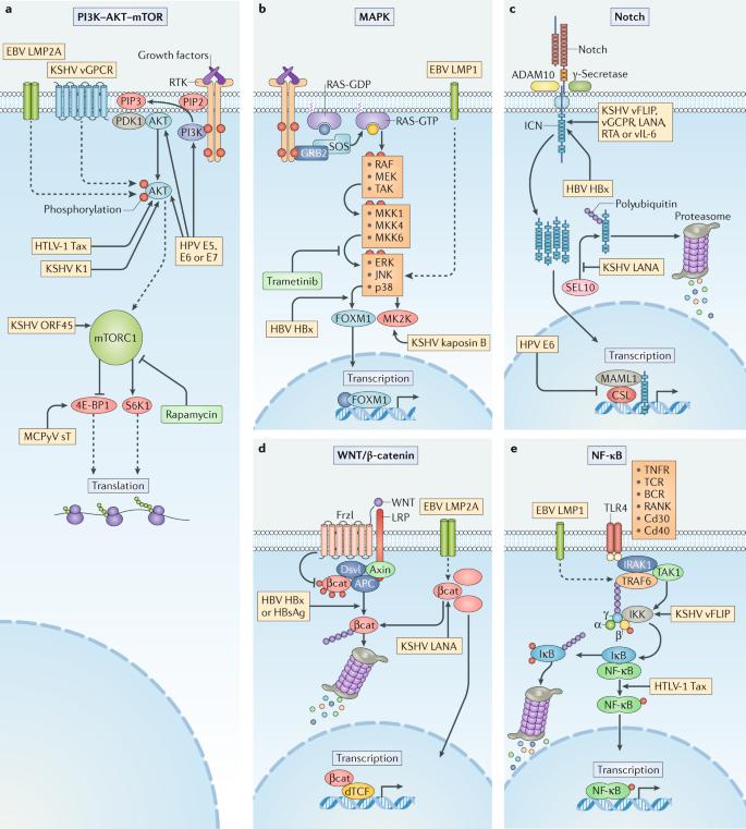 papilom oncogen