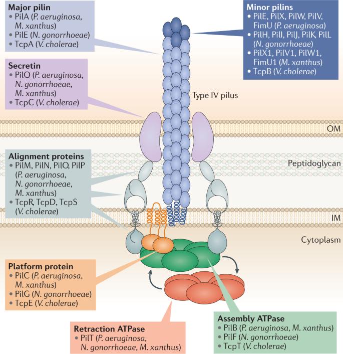 Type IV pili: dynamics, biophysics and functional