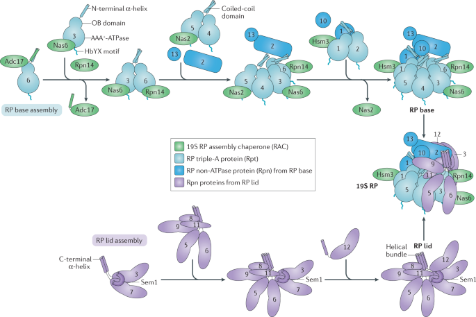 Regulation of proteasome assembly and activity in health and disease