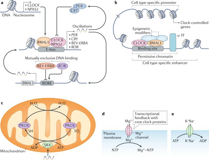 circadian ketogenic diet histone