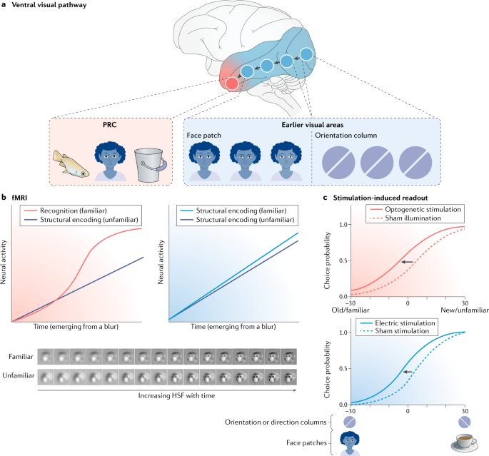Perirhinal circuits for memory processing | Nature Reviews