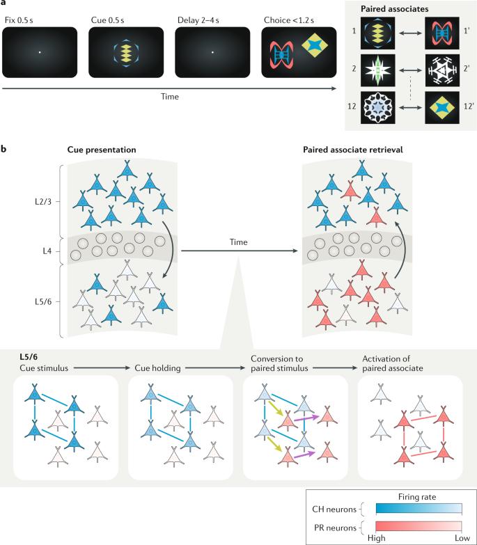 Perirhinal circuits for memory processing   Nature Reviews