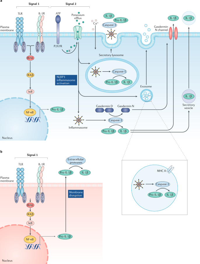 The IL-1 family of cytokines and receptors in rheumatic