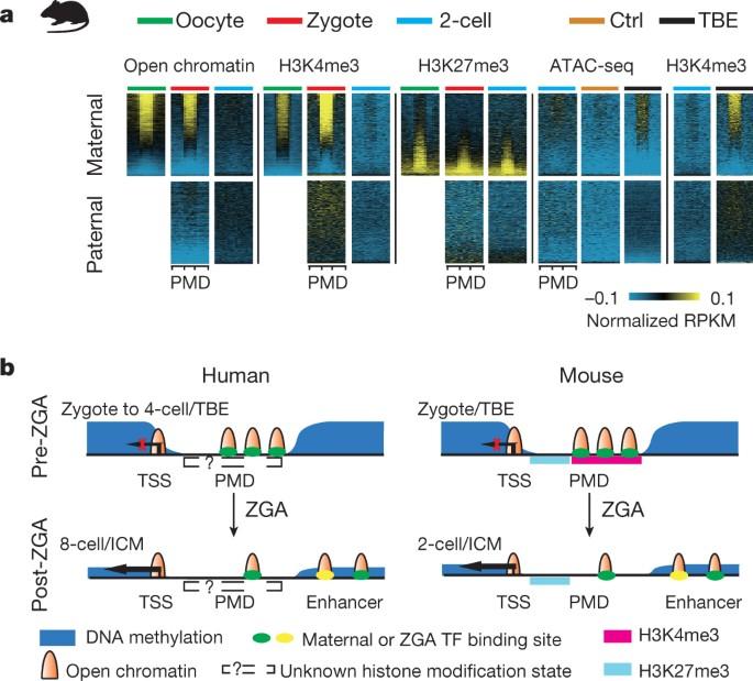 Chromatin analysis in human early development reveals epigenetic