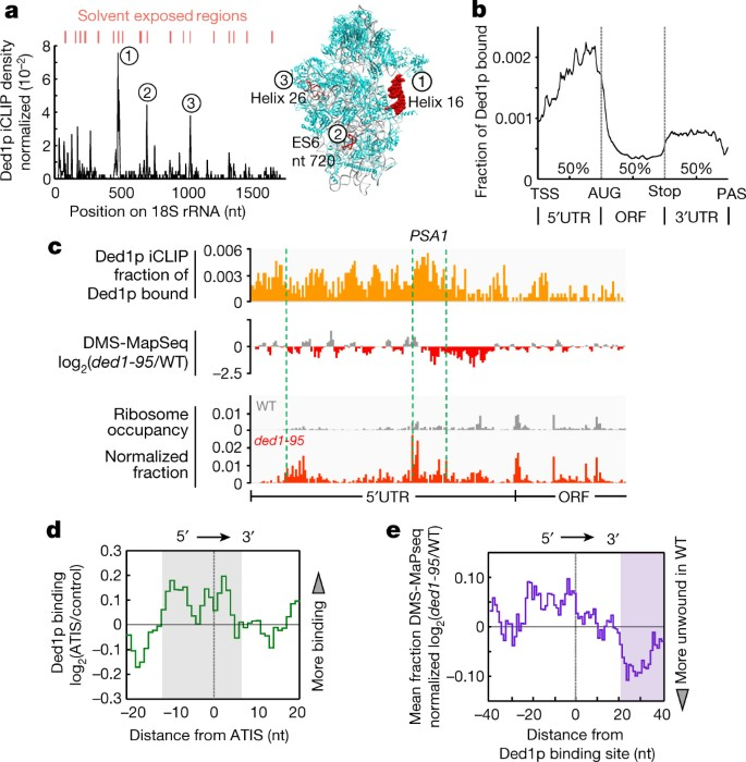 The helicase Ded1p controls use of near-cognate translation
