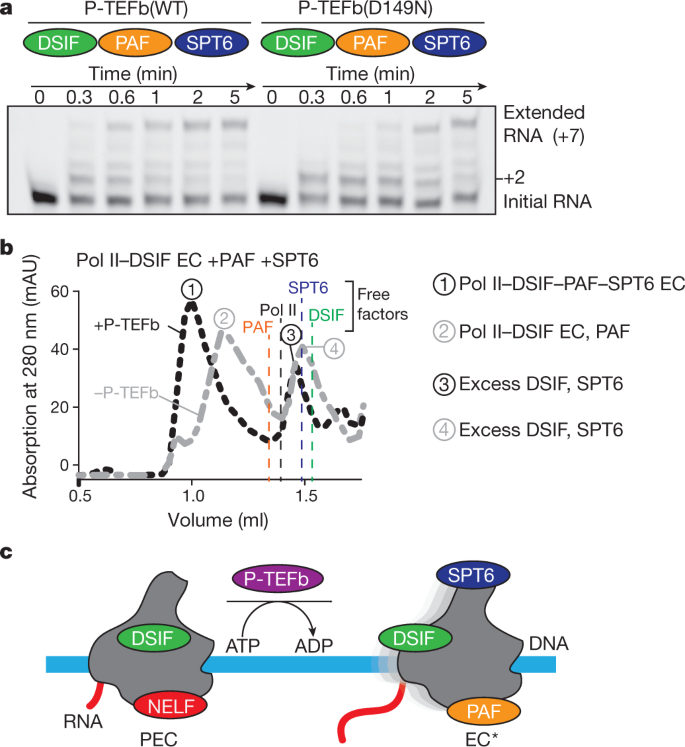 Structure of activated transcription complex Pol II–DSIF–PAF