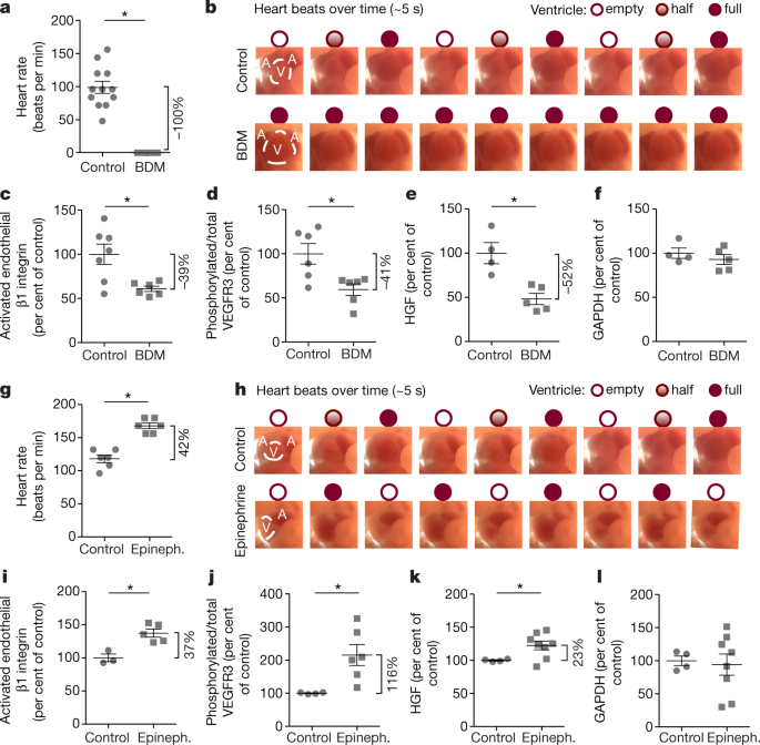 Mechanosensing by β1 integrin induces angiocrine signals for