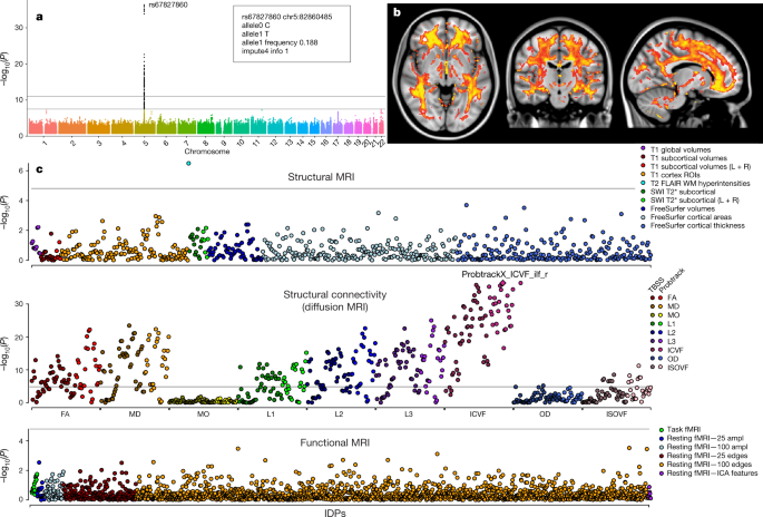 Genome-wide association studies of brain imaging phenotypes in UK