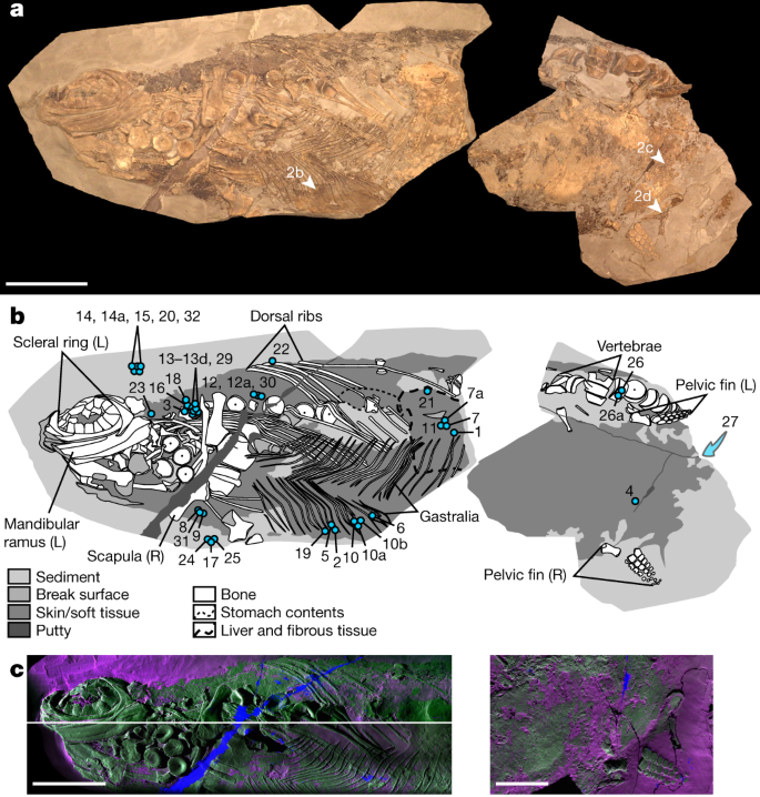 Soft-tissue evidence for homeothermy and crypsis in a Jurassic