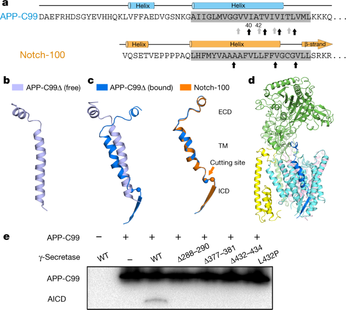 Structural basis of Notch recognition by human γ-secretase